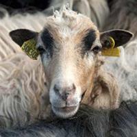 Ovins caprins corse for Chambre d agriculture haute corse